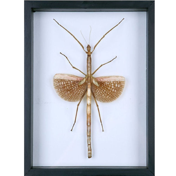 Walking Stick Insect Glass Frame - Natural History Direct Online Shop - 1