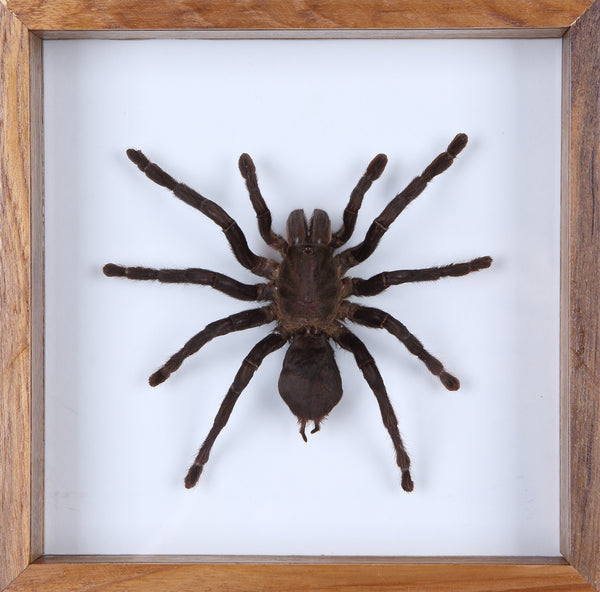 Real Giant Bird Eating Tarantula Mounted in a choice of frames - Natural History Direct Online Shop - 1