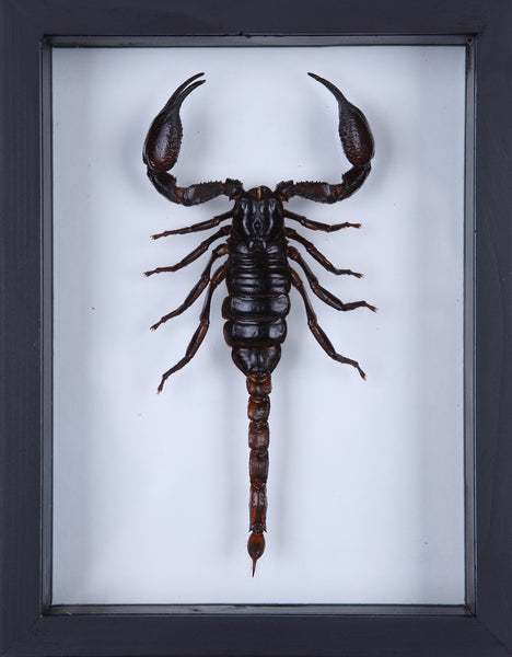 Giant Thailand Scorpion (Heterometrus) See through glass display frame - Natural History Direct Online Shop - 2