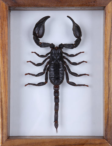 Giant Thailand Scorpion (Heterometrus) See through glass display frame - Natural History Direct Online Shop - 1
