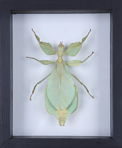 The Walking-Leaf Insect (Phyllium bioculatum) Entomology Frame - Natural History Direct Online Shop - 1