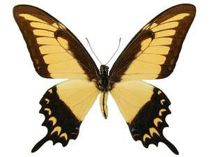 20 X UNMOUNTED BUTTERFLIES, Papilionidae, Papilio lycophron phanias - Natural History Direct Online Shop