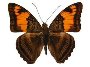 20 X UNMOUNTED BUTTERFLIES, NYMPHALIDAE,ADELPHA MENESTINA - Natural History Direct Online Shop