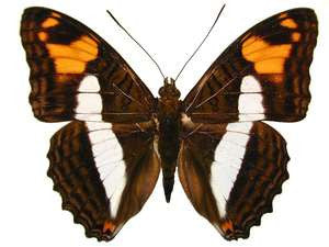 100 X UNMOUNTED BUTTERFLIES, NYMPHALIDAE, ADELPHA SPECIES MIX - Natural History Direct Online Shop