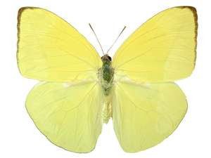 20 X UNMOUNTED BUTTERFLIES, Pieridae,Phoebis statira/trite - types - Natural History Direct Online Shop