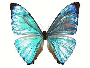 20 X UNMOUNTED BUTTERFLIES, Morphidae, Morpho zephyritis - Natural History Direct Online Shop