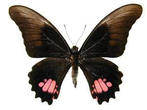 20 X UNMOUNTED BUTTERFLIES, Papilionidae,Papilio anchisiades - Natural History Direct Online Shop