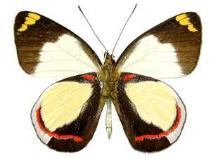 DELIAS DIXEYI unmounted butterfly