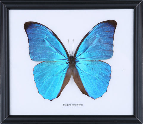 The Giant Morpho Butterfly - Real Butterfly Framed - Natural History Direct Online Shop - 1