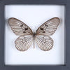 The Siam Tree-Nymph Butterfly - Framed Butterfly - See Through Glass Frame - Natural History Direct Online Shop - 2