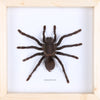 Real Giant Bird Eating Tarantula Mounted in a choice of frames - Natural History Direct Online Shop - 4