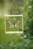 The Siam Tree-Nymph Butterfly - Framed Butterfly - See Through Glass Frame - Natural History Direct Online Shop - 5