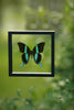 The Green Swallowtail Butterfly - Framed Butterfly - See Through Glass Frame - Natural History Direct Online Shop - 4