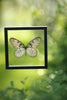 The Siam Tree-Nymph Butterfly - Framed Butterfly - See Through Glass Frame - Natural History Direct Online Shop - 4