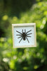 Real Giant Bird Eating Tarantula Mounted in a choice of frames - Natural History Direct Online Shop - 5