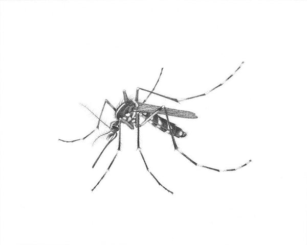 "Art of Carim Nahaboo | Aedes albopictus | Artist Signed Print 10x8"" - Natural History Direct Online Shop"