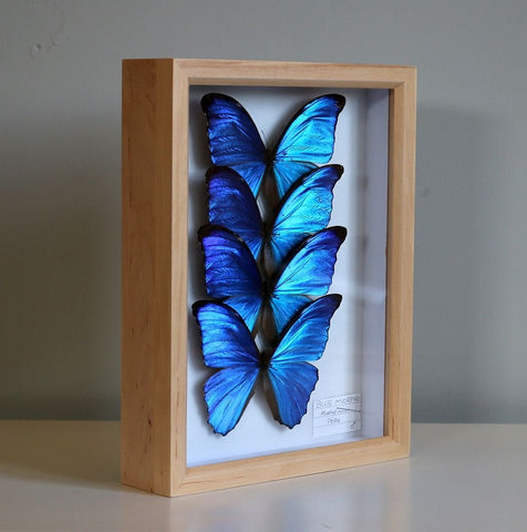 The Morpho Butterfly Collection | Museum Entomology Box - Natural History Direct Online Shop - 1