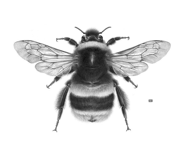 Art of Carim Nahaboo | Bombus terrestris | Artist Signed Print - Natural History Direct Online Shop