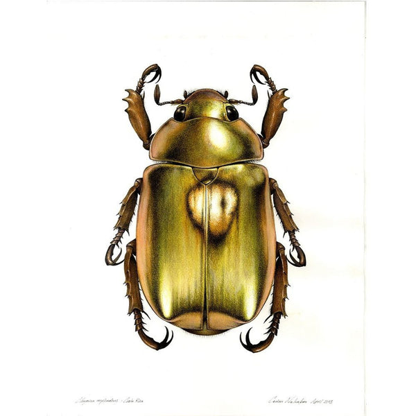 Art of Carim Nahaboo | Chrysina resplendens in colour | Artist Signed Print A3 - Natural History Direct Online Shop