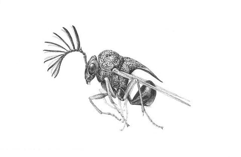 "Art of Carim Nahaboo | Eucharitid Wasp | Artist Signed Print 10x8"" - Natural History Direct Online Shop"