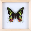 The Madagascan Sunset Moth - Framed Day Moth - See Through Glass Frame - Natural History Direct Online Shop - 3