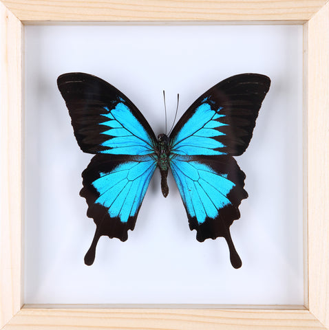 The Blue Swallowtail Butterfly - Framed Butterfly - See Through Glass Frame - Natural History Direct Online Shop - 2