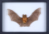 Blyth's Horseshoe Bat (Rhinolophus lepidus refulgens) Framed Bat, Museum Specimen - Natural History Direct Online Shop