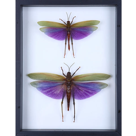 Pair Titanacris albipes Framed Grasshoppers, French Guiana - Natural History Direct Online Shop - 1