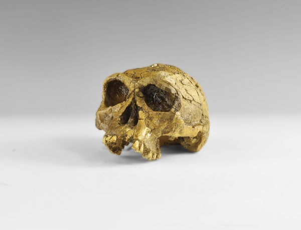 Homo Habilis Skull Museum Replica - Natural History Direct Online Shop