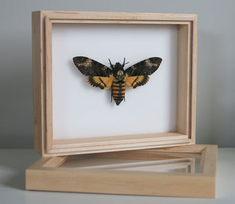 The Death's-head hawkmoth - Acherontia atropos - 18 x 15 cm - Silence of the Lambs Movie