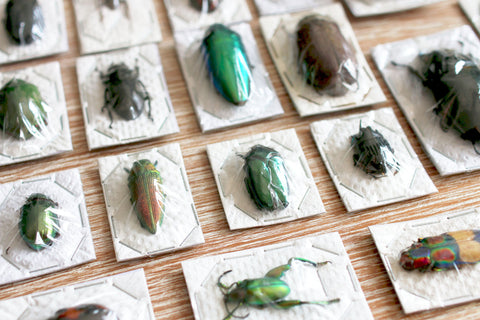 Unmounted Coleoptera Beetle Specimens