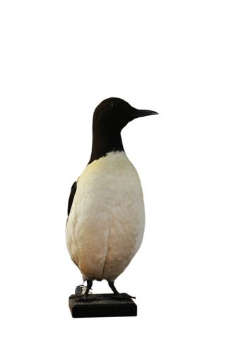 Common Murre (Uria aalge) Taxidermy - Natural History Direct Online Shop - 1