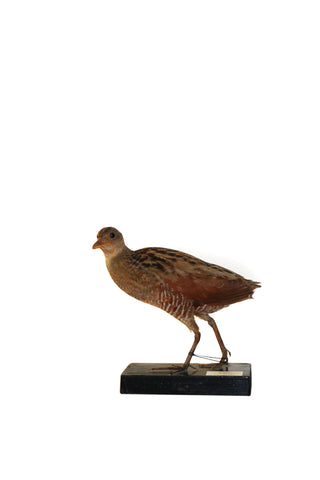 Corn Crake (Crex crex) Taxidermy - Natural History Direct Online Shop - 1