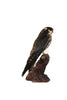 Eurasian Hobby (Falco subbuteo) Taxidermy - Natural History Direct Online Shop - 4