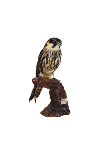 Eurasian Hobby (Falco subbuteo) Taxidermy - Natural History Direct Online Shop - 1