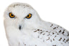 Snowy owl (Bubo scandiacus) Ex Museum Taxidermy - Natural History Direct Online Shop - 5