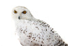 Snowy owl (Bubo scandiacus) Ex Museum Taxidermy - Natural History Direct Online Shop - 10