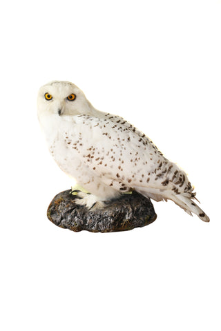 Snowy owl (Bubo scandiacus) Ex Museum Taxidermy - Natural History Direct Online Shop - 1