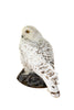 Snowy owl (Bubo scandiacus) Ex Museum Taxidermy - Natural History Direct Online Shop - 4