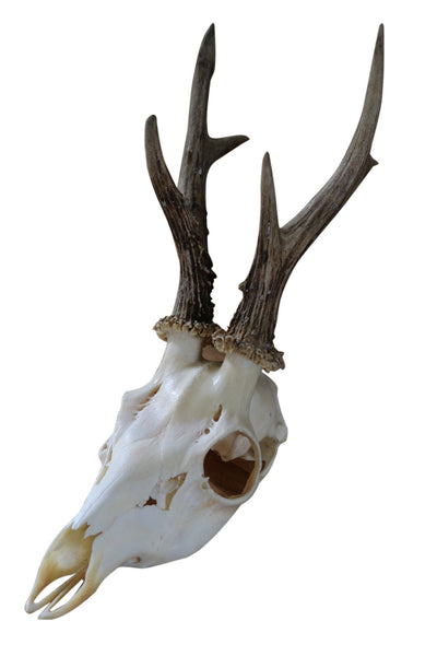 Vintage Assorted Roe Deer Skull Antlers (Capreolus capreolus) Shabby Chic - Natural History Direct Online Shop