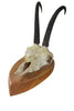 Vintage Chamois Antlers (Rupicapra rupicapra) Trophy Wood Shield #053 - Natural History Direct Online Shop - 1