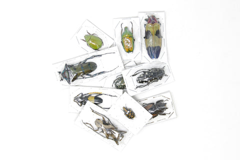 MIXED LOT OF DRY-PRESERVED BEETLES | COLEOPTERA SPECIMENS | ASSORTED SPECIES UNMOUNTED