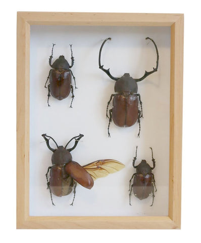 Long arm Scarab Collection | Museum Entomology Box - Natural History Direct Online Shop