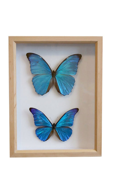 The Morpho Butterfly Collection | Museum Entomology Box - Natural History Direct Online Shop
