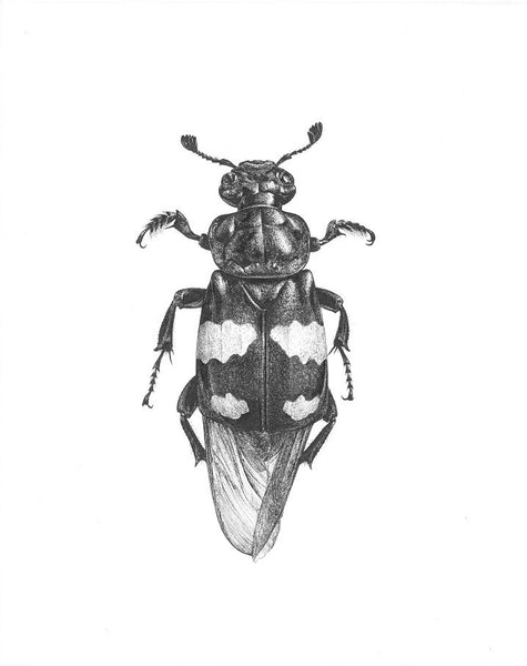 Art of Carim Nahaboo | Nicrophorus vespilloides | Artist Signed Print A4 - Natural History Direct Online Shop