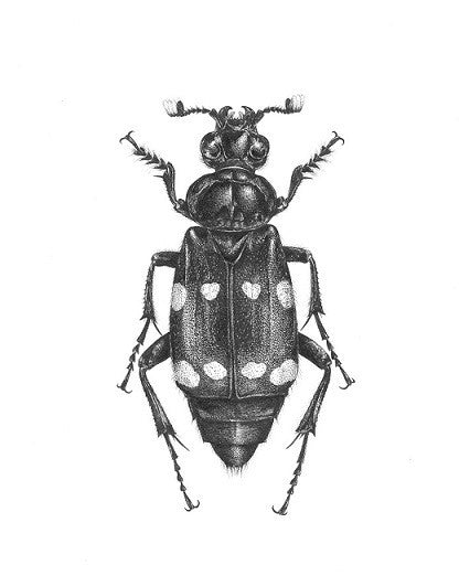 Art of Carim Nahaboo | Nicrophorus didymus | Artist Signed Print A4 - Natural History Direct Online Shop