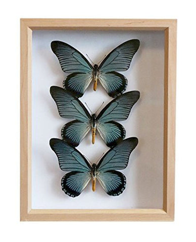 The Giant Blue Swallowtail | Museum Entomology Box - Natural History Direct Online Shop - 1