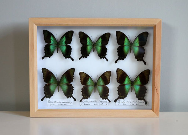 Papilio Peranthus Butterflies | Museum Entomology Box - Natural History Direct Online Shop - 1