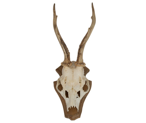 Roe Deer Skull with Antlers on wall mount - Natural History Direct Online Shop