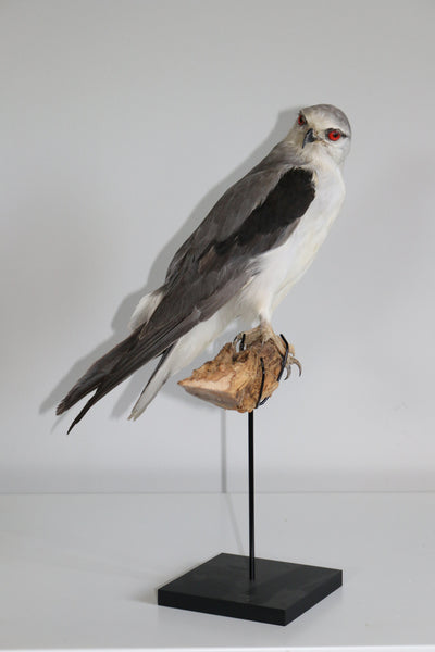 Black shouldered Kite  23X21CM